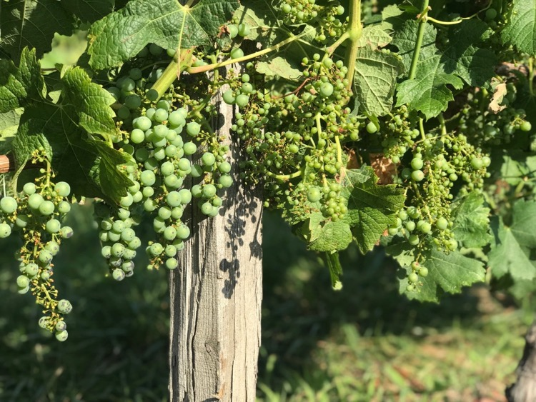 Bordeaux 2019 uneven fruit set
