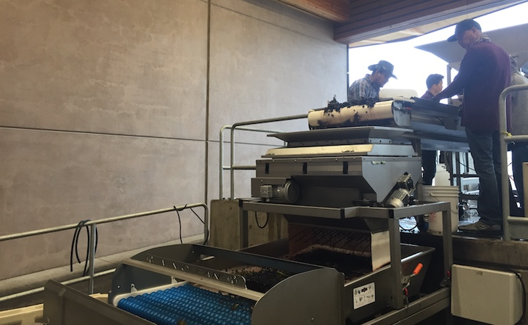 Grape sorting in a Willamette Valley winery 2019
