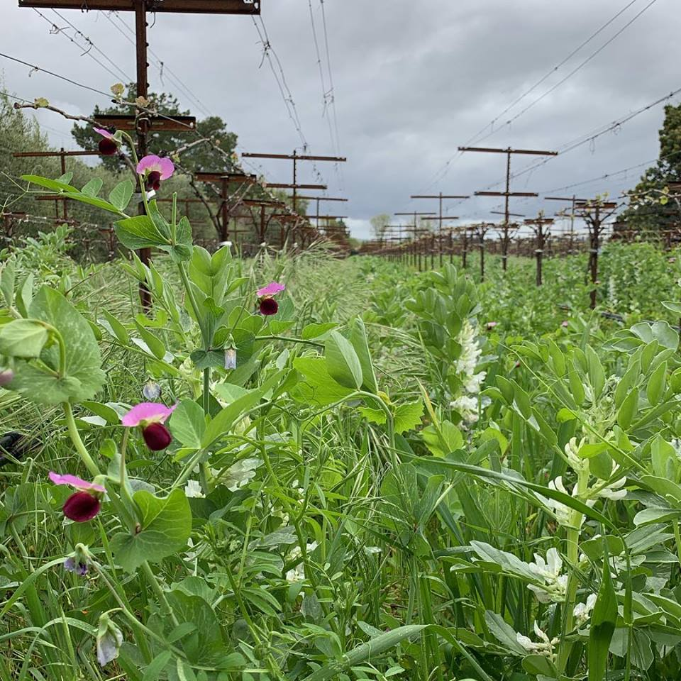 Cover crops on Matthiasson vineyard Napa
