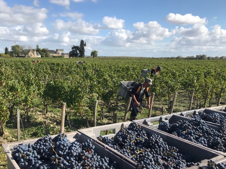 Cabernet harvest at Beychevelle 2019