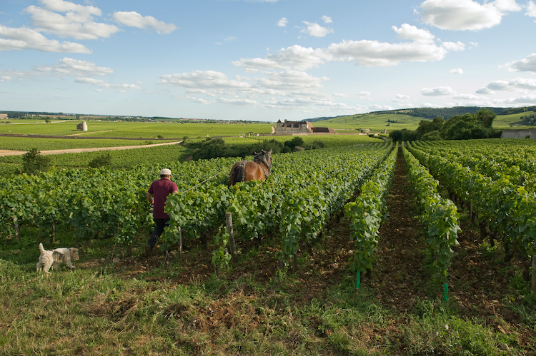 Ploughing Chambolle-Musigny's Amoureuses vineyard