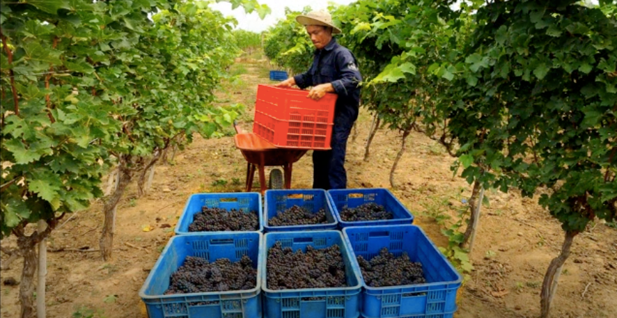Hard-harvested grapes in Vietnam
