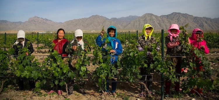 Female vineyard workers in Ningxia, China