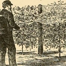 1906 spraying vines by hand