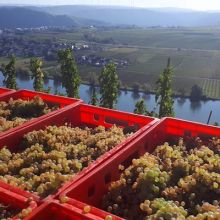 The Kellers' healthy 2018 Schubertslay grapes overlooking the Mosel