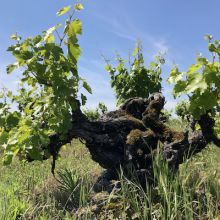 Mission vine planted in 1854 in Amador County