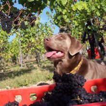 Pinot the dog in a Pinot Noir vineyard at harvest time