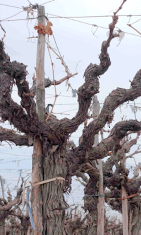 Old vines in Napa via Simonit & Sirch