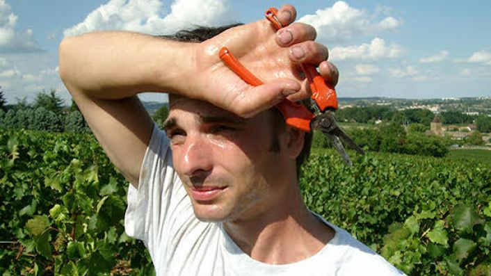 Sweaty grape picker in Burgundy 2003