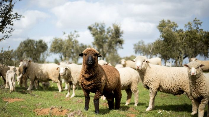 Herdade do Esporao vineyard sheep
