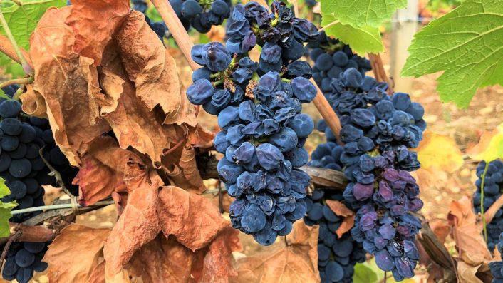 'Flabby' Pinot Noir in Burgundy 2020