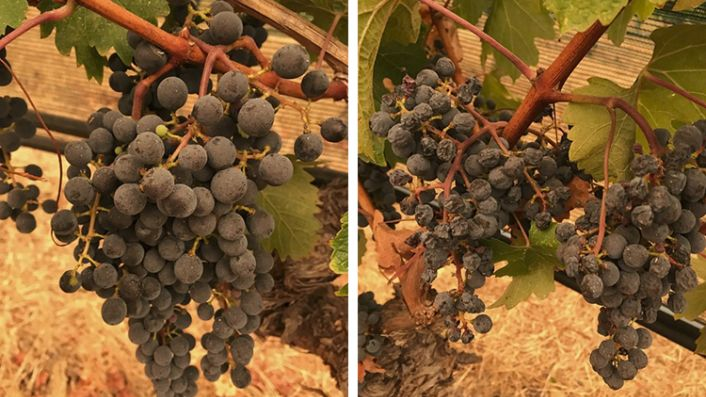 A miracle in the vineyard?
