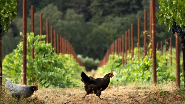 Organic chickens at Spottswoode, Napa Valley