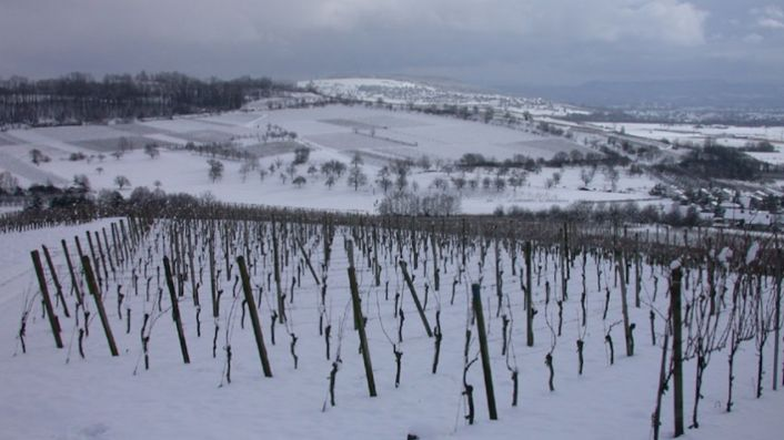 Dirk Brenneisen's vines in the snow in the Markgräflerland, Baden, southern Germany