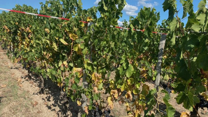 Yellow leaves of drought-stressed vines in Pomerol 21 Sept 2020