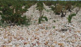 Chateauneuf du Pape white stone vineyards
