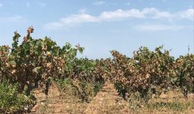 Burnt Carignan vines in the Languedoc 2019