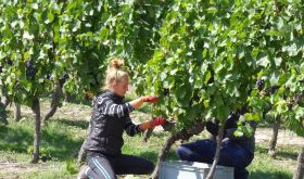 harvesting grapes in the Loire 2015