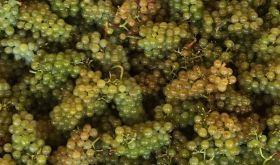 2019 Chardonnay grapes in Oregon's Willamette Valley