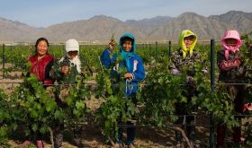 Women in the vineyards of Silver Heights in Ningxia, China