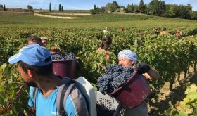 Cabernet Franc harvest below the vineyard of Ch Tertre Roteboeuf 8 October 2019