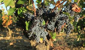 Mourvedre in Chateauneuf-du-pape in 2019