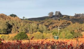 Zinfandel vines in autumn 2019 overlooked by hillsides scorched by the Kincade Fire