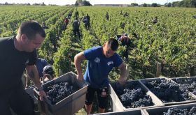 2019 Bordeaux harvest in St-Julien