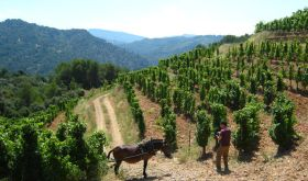 Alvaro Palacios vineyard in Priorat, Catalunya with donkey