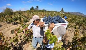 Garage Wine Co 2020 harvest in Maule, southern Chile