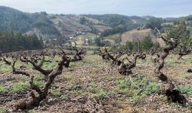 Old bushvines in Itata, southern Chile