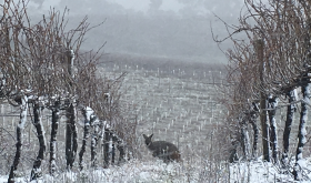 Kangaroo in Coppabella vineyard, Tumbarumba, New South Wales