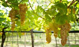 Soave grapes on pergola