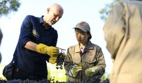 Lenz Moser sorting Cabernet grapes in Ningxia