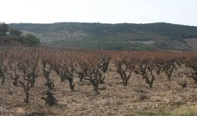 Dom de l'Horizon's 60 year-old Macabeu vines