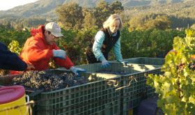 Cathy Corison sorting grapes