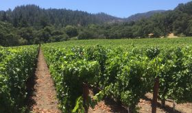 Conventional Napa Valley vineyard