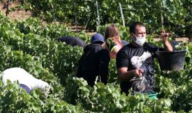 Champagne harvest 2020 with face coverings