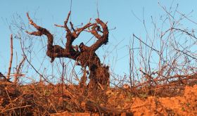 Old vine on red soil in Itata, Chile