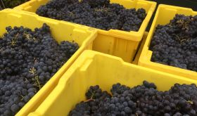 F..ing yellow bins in Napa Valley with 2020 Pinot Noir grapes
