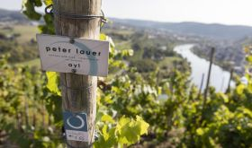 Ayl vineyard of Peter Lauer high above the Mosel