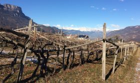 The historic Gschleier vineyard of ancient Schiava vines in Alto Adige