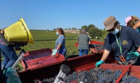 Harvesting Merlot grapes at Lafite in 2020