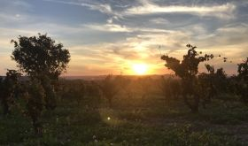 Sun setting over a Chateauneuf-du-Pape vineyard in 2020