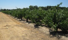 Zin vines planted in Lodi in the 1940s