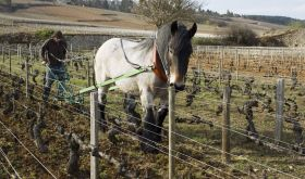 Horse and plough in a Domaine de Bellene vineyard