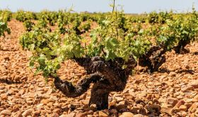 Old vine in La Mancha that contributes to Verum wines