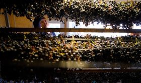 Grapes drying at Beykush winery in Ukraine